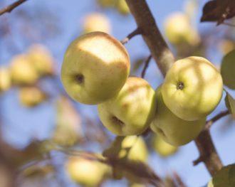 En Aveyron, des couteaux, des burons… et des pommes
